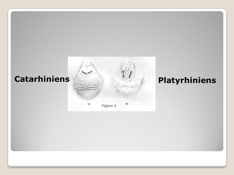 Catarhiniens Platyrhiniens