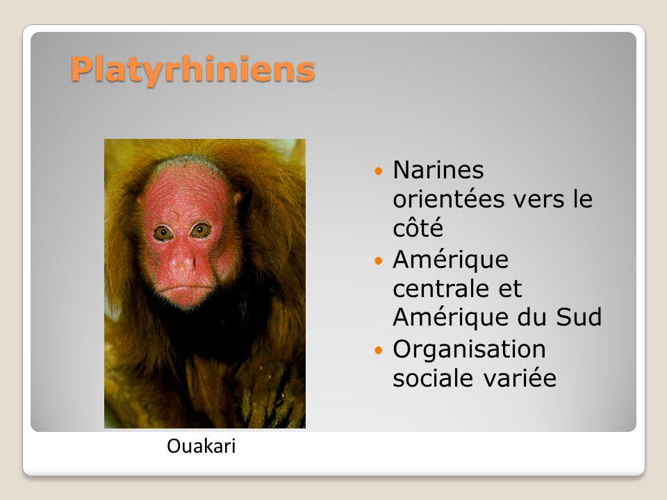 Platyrhiniens Narines orientées vers le côté Amérique centrale et Amérique du Sud Organisation sociale variée Ouakari