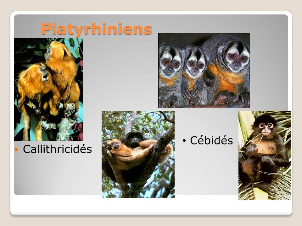 Platyrhiniens Callithricidés Cébidés