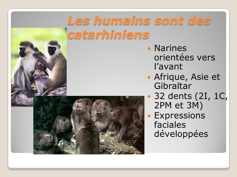 Les humains sont des catarhiniens Narines orientées vers lavant Afrique, Asie et Gibraltar 32 dents (2I, 1C, 2PM et 3M) Expressions faciales développées