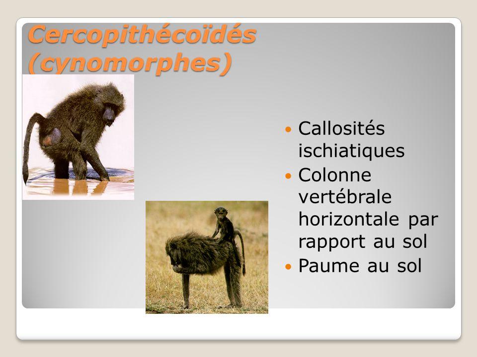 Cercopithécoïdés (cynomorphes) Callosités ischiatiques Colonne vertébrale horizontale par rapport au sol Paume au sol