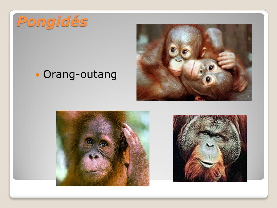 Pongidés Orang-outang
