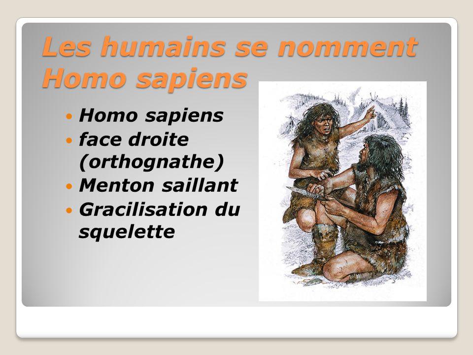 Les humains se nomment Homo sapiens Homo sapiens face droite (orthognathe) Menton saillant Gracilisation du squelette