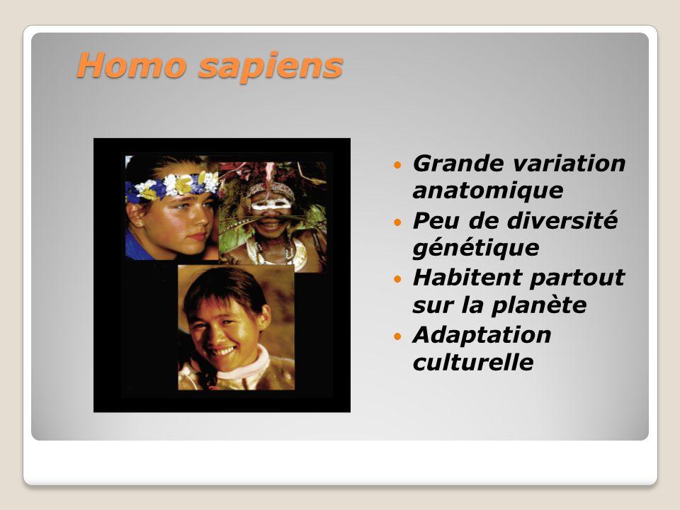 Homo sapiens Grande variation anatomique Peu de diversité génétique Habitent partout sur la planète Adaptation culturelle