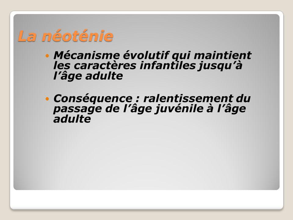 La néoténie Mécanisme évolutif qui maintient les caractères infantiles jusquà lâge adulte Conséquence : ralentissement du passage de lâge juvénile à lâge adulte