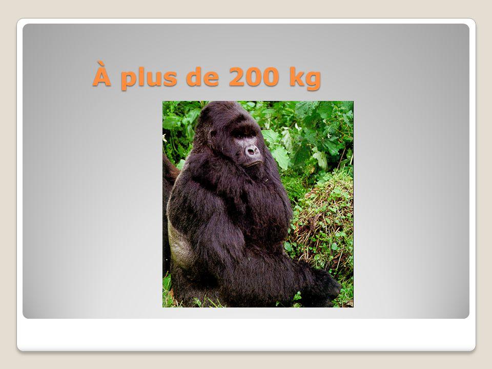 Néoténie : chimpanzé et humain Os frontaux sans bourrelet Face plus droite Dents petites Apprennent facilement