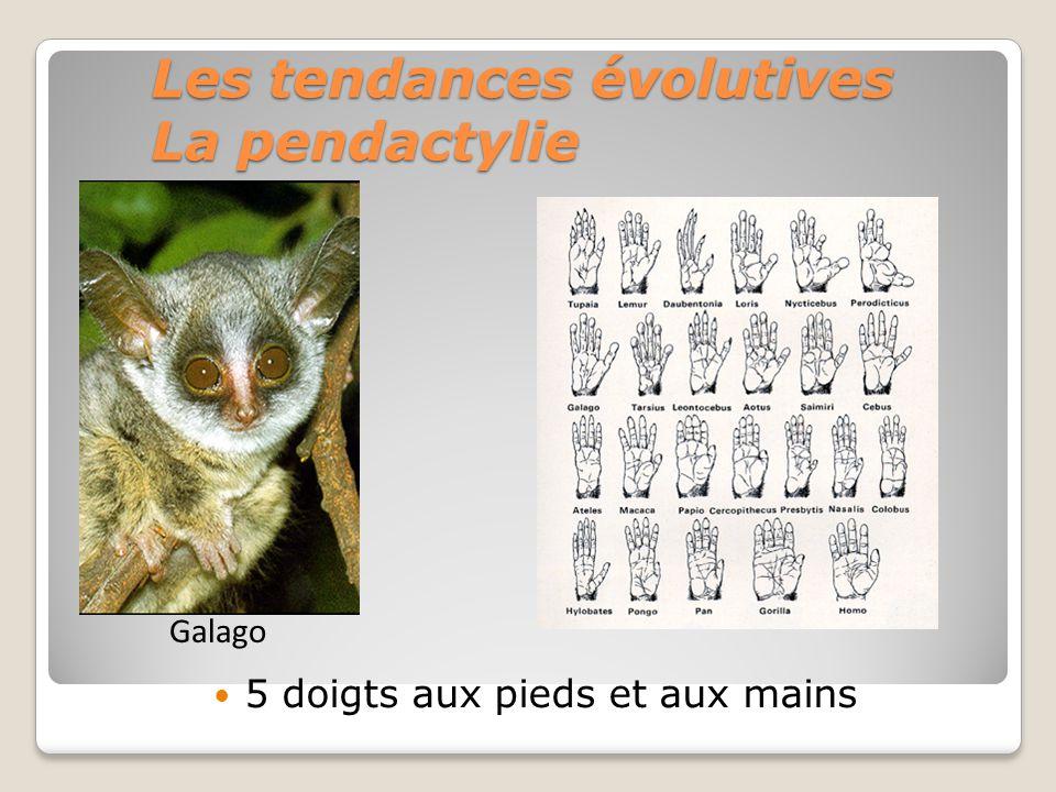 Les tendances évolutives La pendactylie 5 doigts aux pieds et aux mains Galago