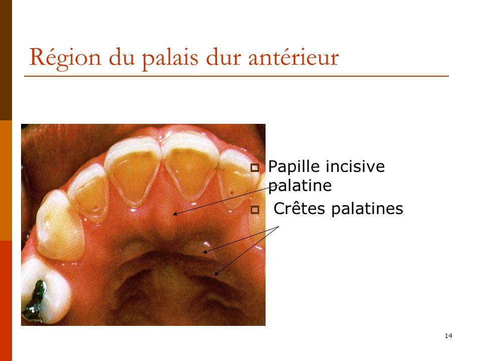 14 Région du palais dur antérieur Papille incisive palatine Crêtes palatines