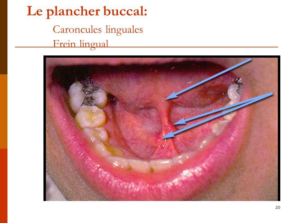 20 Le plancher buccal: Caroncules linguales Frein lingual