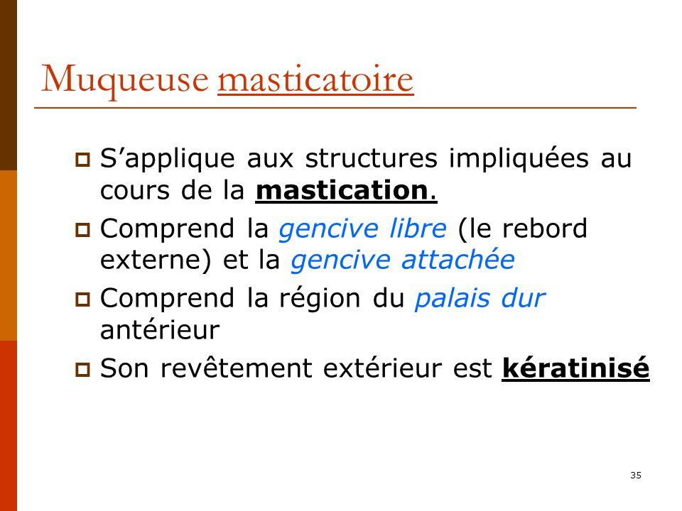 35 Muqueuse masticatoire Sapplique aux structures impliquées au cours de la mastication. Comprend la gencive libre (le rebord externe) et la gencive a
