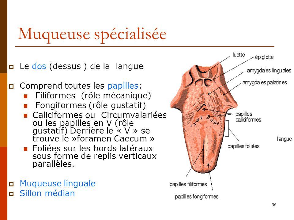 36 Muqueuse spécialisée Le dos (dessus ) de la langue Comprend toutes les papilles: Filiformes (rôle mécanique) Fongiformes (rôle gustatif) Caliciform