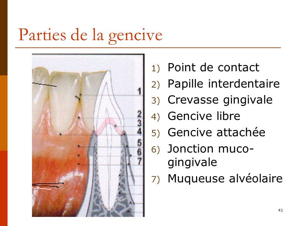 41 Parties de la gencive 1) Point de contact 2) Papille interdentaire 3) Crevasse gingivale 4) Gencive libre 5) Gencive attachée 6) Jonction muco- gingivale 7) Muqueuse alvéolaire