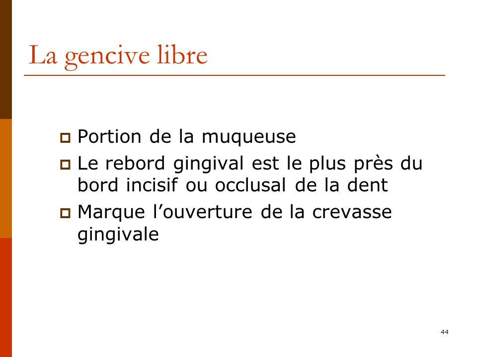 44 La gencive libre Portion de la muqueuse Le rebord gingival est le plus près du bord incisif ou occlusal de la dent Marque louverture de la crevasse gingivale