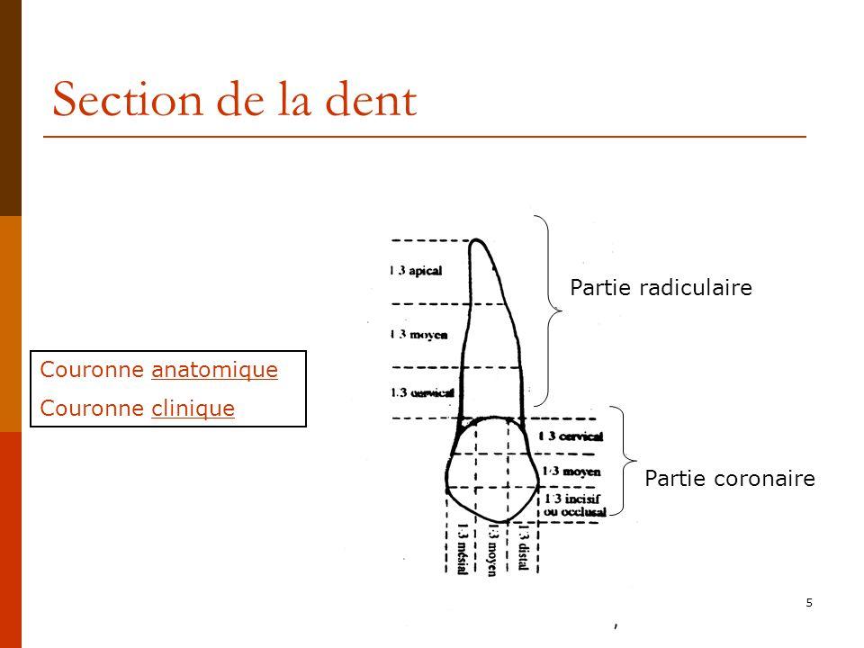 5 Section de la dent Couronne anatomique Couronne clinique Partie radiculaire Partie coronaire