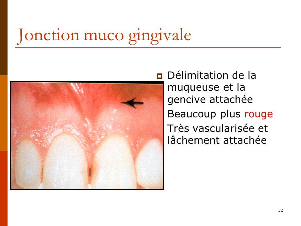 52 Jonction muco gingivale Délimitation de la muqueuse et la gencive attachée Beaucoup plus rouge Très vascularisée et lâchement attachée
