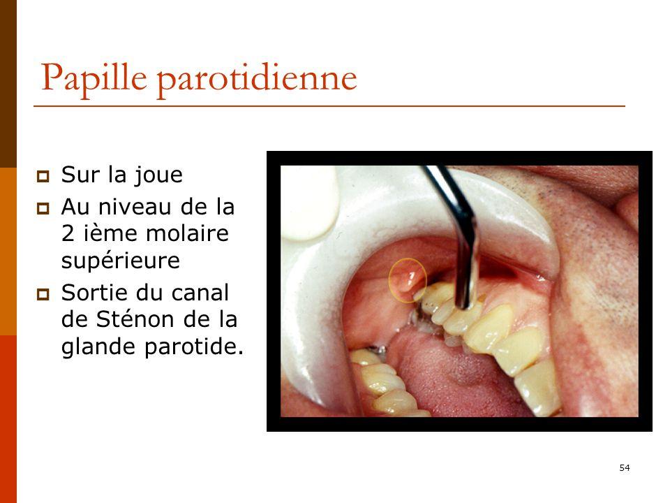 54 Papille parotidienne Sur la joue Au niveau de la 2 ième molaire supérieure Sortie du canal de Sténon de la glande parotide.
