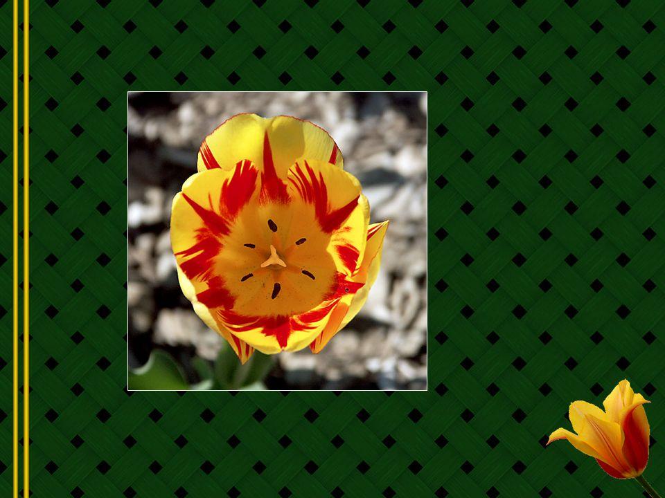 En 1554, à Constantinople, Augier Ghislain de Busbecq (1522 - 1591), ambassadeur flamand, envoie à trois de ses amis de Vienne quelques bulbes et quelques graines de tulipes découverts en Turquie...