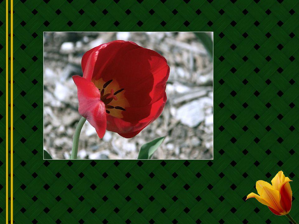 Les Hollandais impressionnés par cette magnifique fleur furent preneurs, mais ils désespèrent également car Clusius, très attaché à ses précieux bulbes, en fixa le prix très haut.