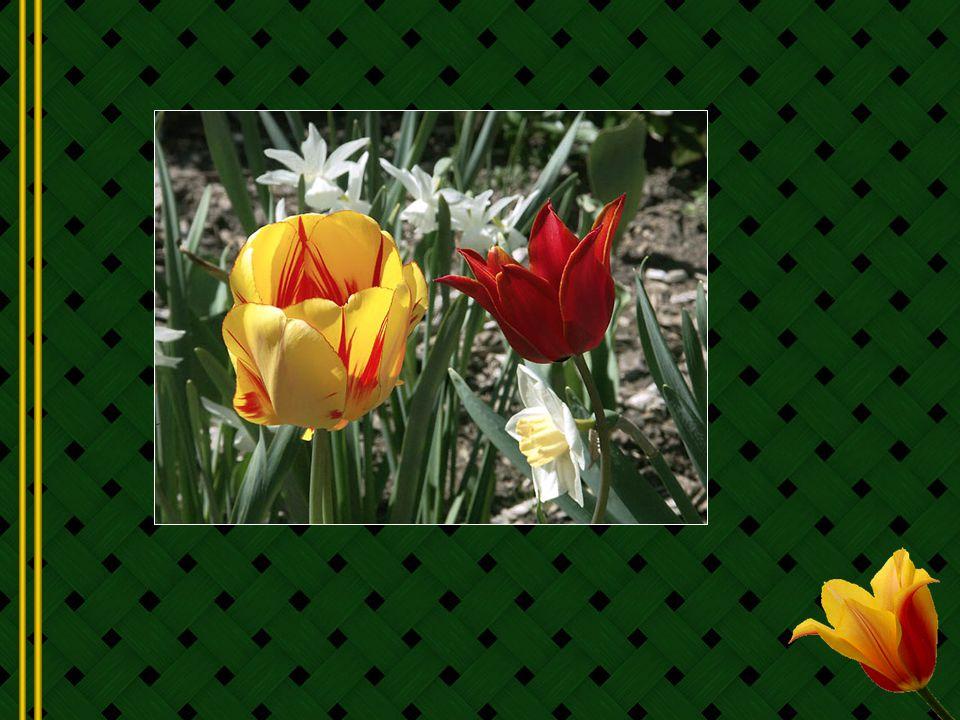 Jusque-là toutes les tulipes navaient quune seule couleur.