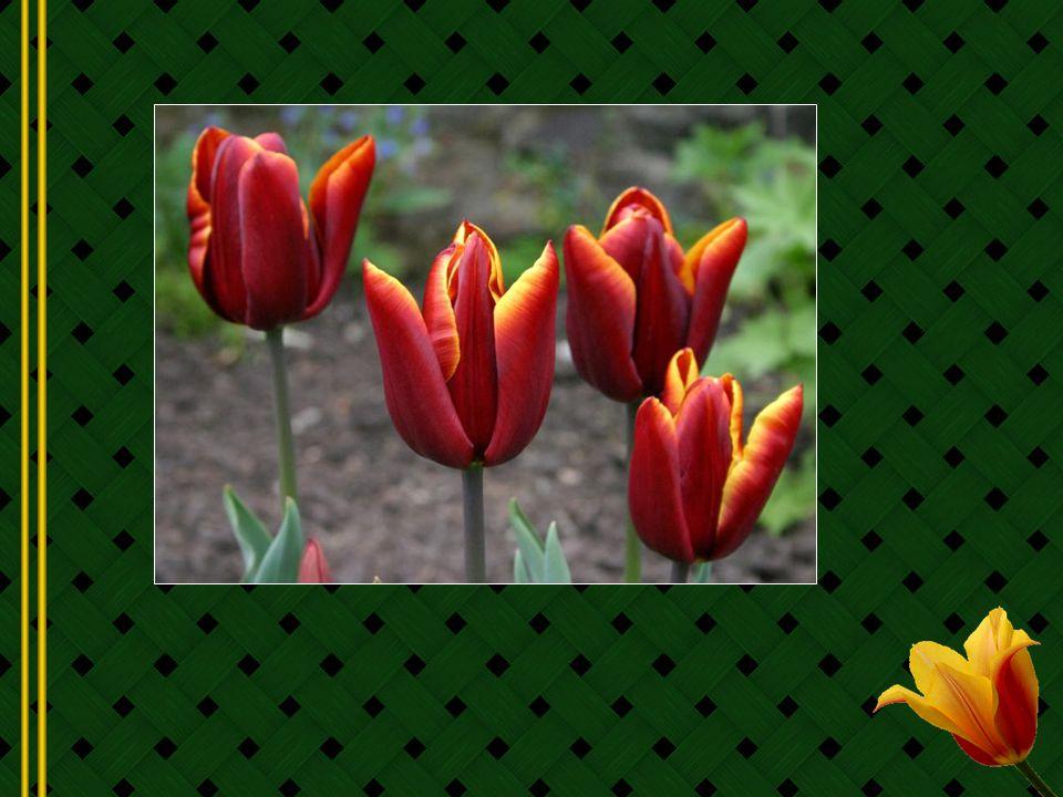 La tulipe est devenue le symbole de richesse de la Hollande qui en a fait sa fleur nationale.