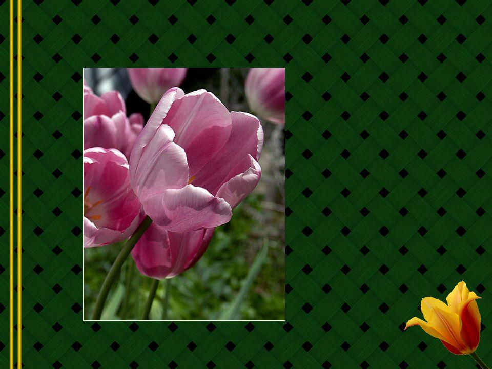 Après la Hollande cest probablement le Canada qui est le plus important royaume des tulipes.