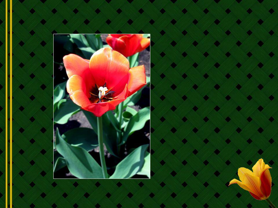 Jai toujours eu un faible pour les tulipes, probablement parce quelles font comme moi; elles hivernent sous la neige et la glace pour émerger au printemps, pleines de vie nouvelle et de rayonnement après le long et dur hiver!