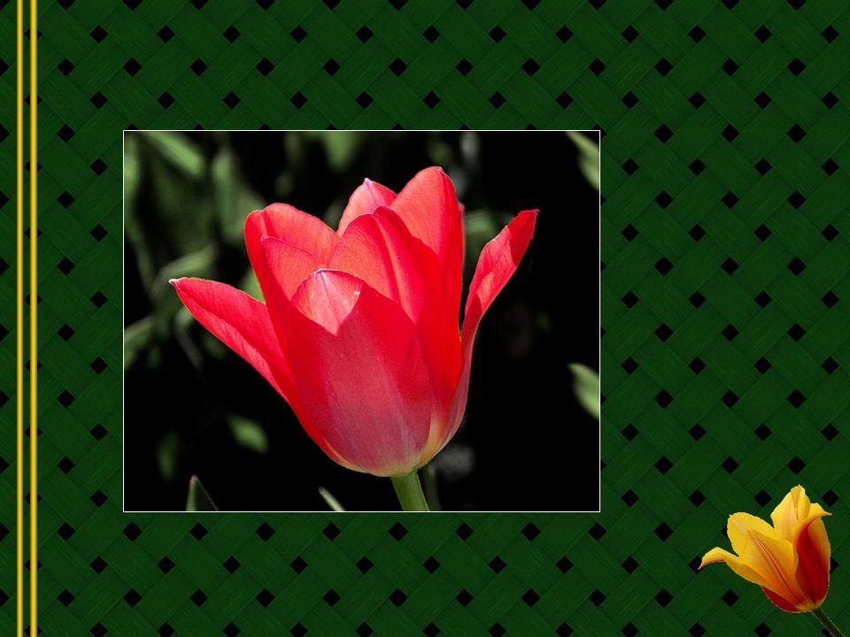 Les tulipes sont de vraies asiatiques.