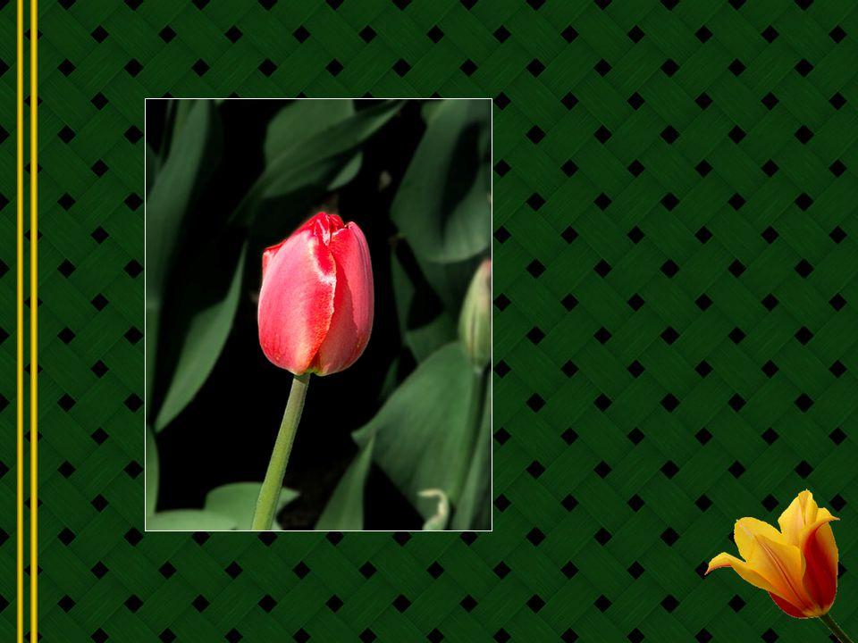 Le nom de la tulipe vient du turc Tülbend qui signifie turban, allusion faite au turban que portent les Turcs et les peuples Ottomans.