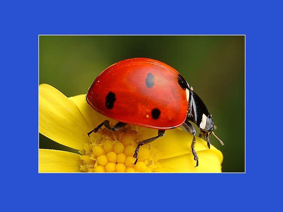Après une semaine, de petites larves noires feront leur apparition et partiront déjà à l'assaut des pucerons, qu'elles dévoreront en énormes quantités