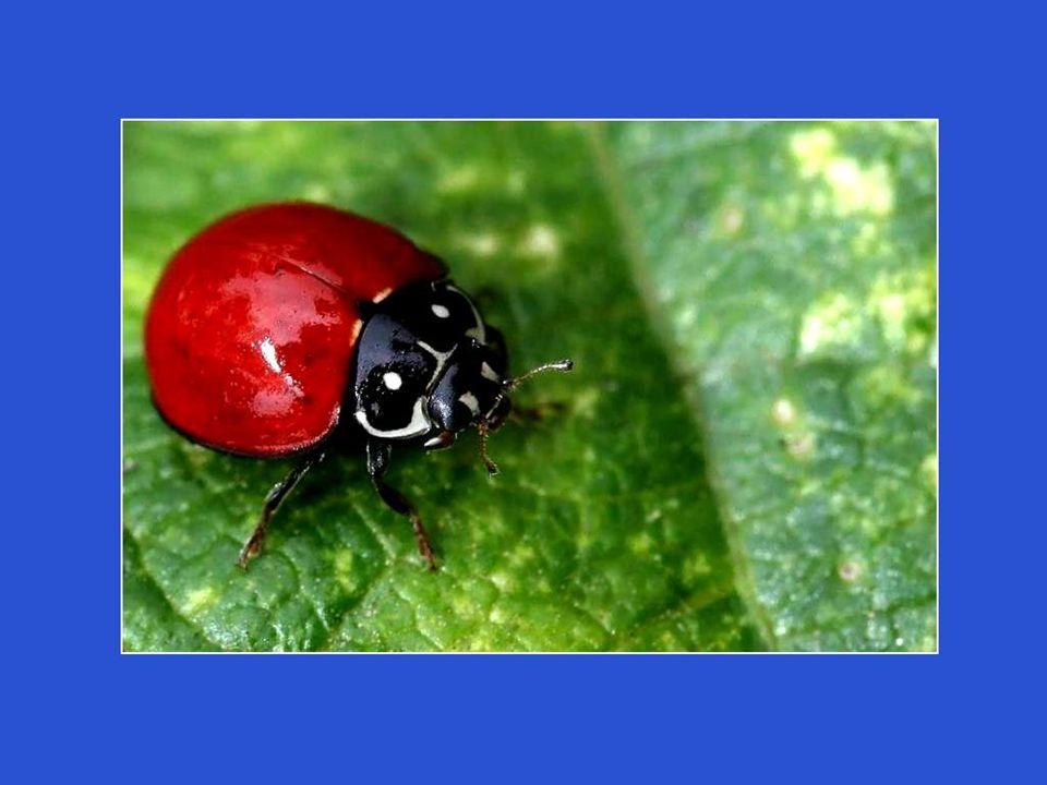 Lorsquelles sont menacées, les coccinelles font gicler un liquide rougeâtre, nauséabond. Règle générale, ceux qui osent attaquer une coccinelle ne le