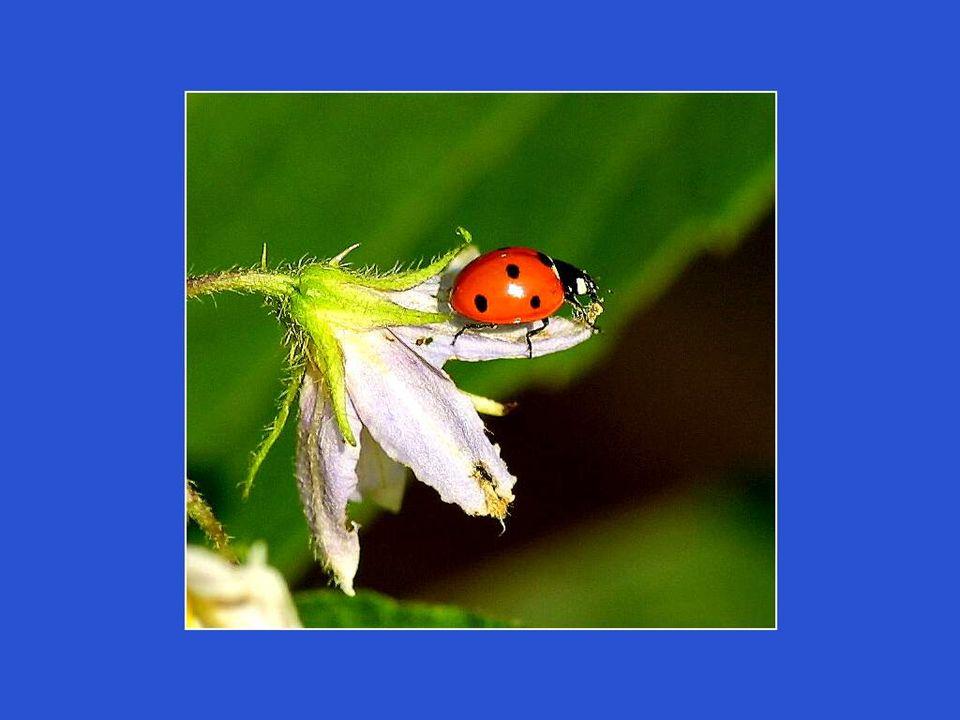 Les pucerons sont leur nourriture préférée, mais parmi les autres proies potentielles il y a les thrips, les psylles, les aleurodes, les cochenilles, les larves de diptères, les guêpes, les papillons, les coléoptères, etc.