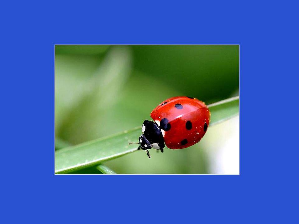 Après une semaine, de petites larves noires feront leur apparition et partiront déjà à l assaut des pucerons, qu elles dévoreront en énormes quantités.