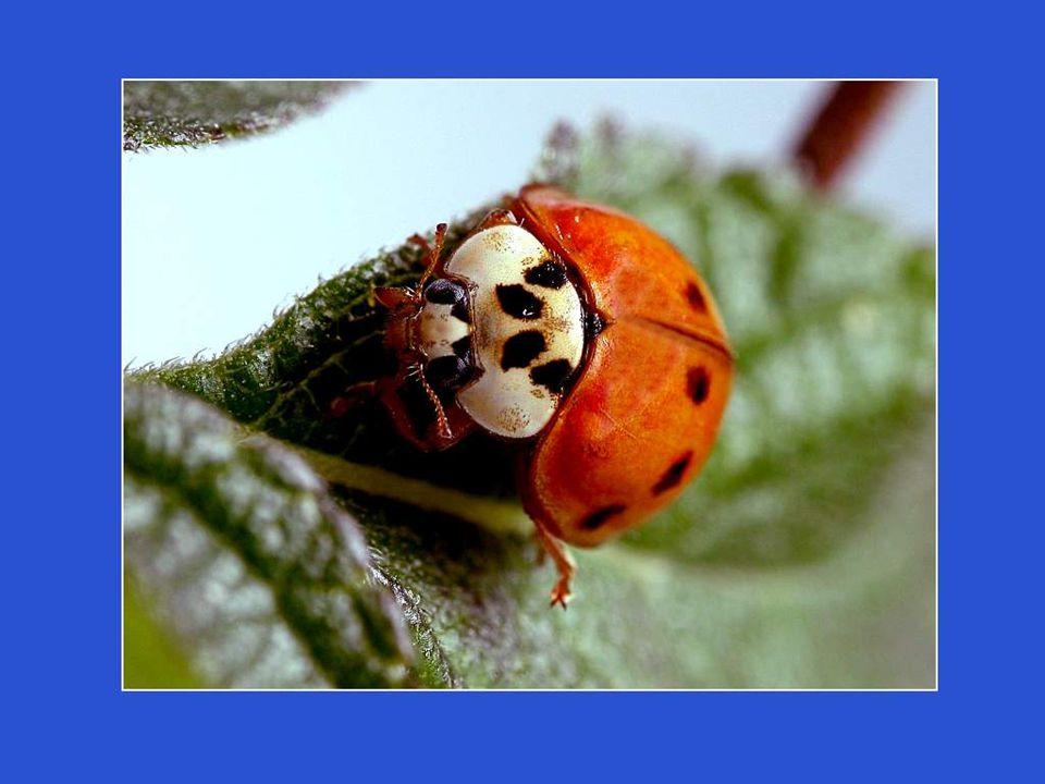 Tous les jardiniers connaissent ce petit insecte aux élytres tachetées, prédateur des pucerons. La coccinelle écarlate à 7 points, celle que lon conna