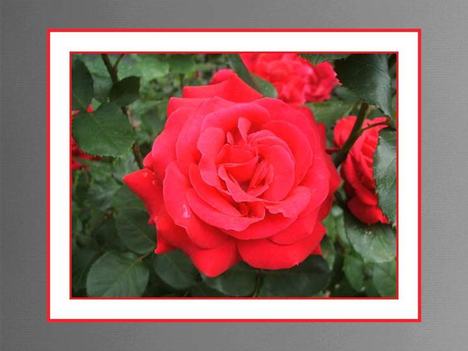 Jaime tellement les fleurs que jai eu envie de vous faire partager cet amour. Toutes ces photos ont été prises soit chez nous soit au hasard de promen