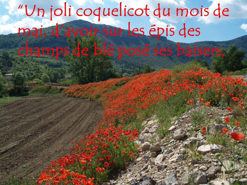 Un joli coquelicot du mois de mai, d avoir sur les épis des champs de blé posé ses baisers,