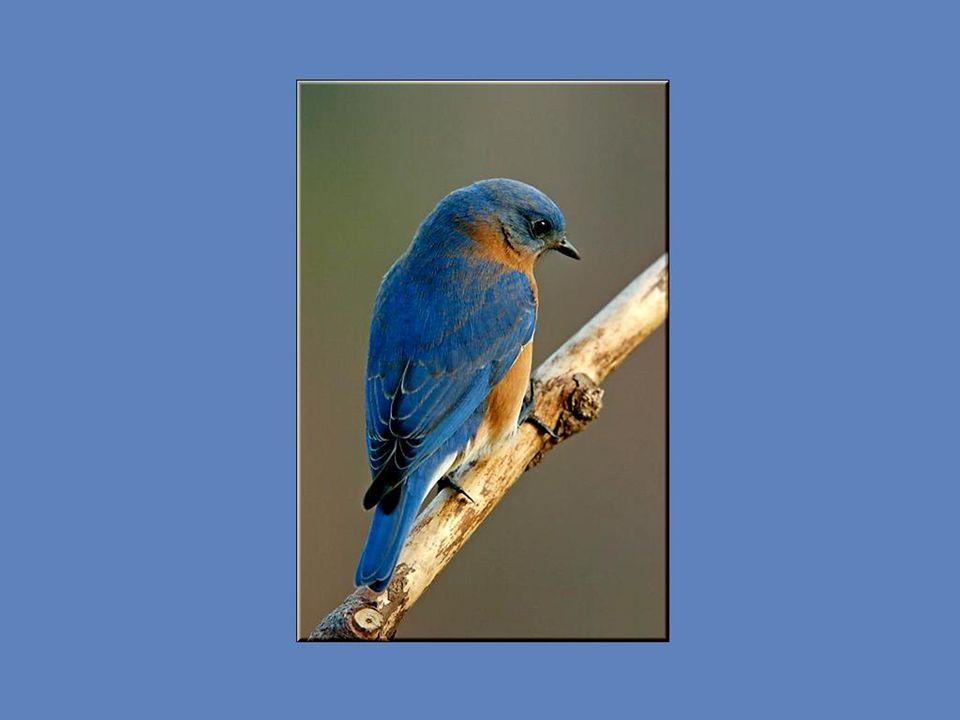 Ce bel oiseau au manteau bleu, avec la poitrine rousse et le ventre blanc aime les espaces partiellement dégagés car il se nourrit au sol de différent