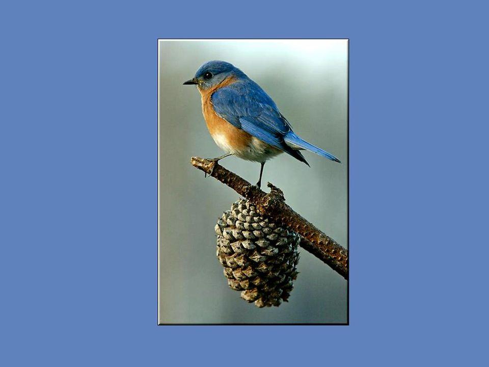 En avril ou mai, le mâle s'installe sur un fil ou sur une branche dégagée et lance son chant afin d'attirer une femelle. Il peut ainsi chanter des jou