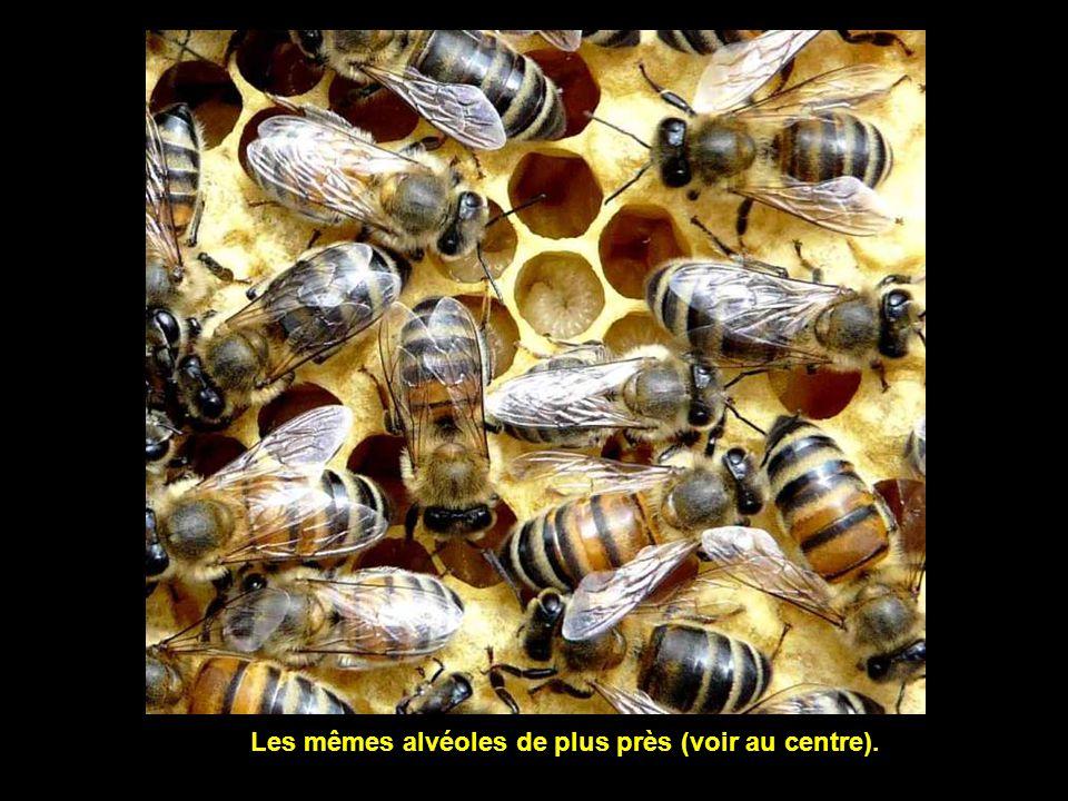 Ce cadre accueille des alvéoles utilisées pour lélevage des larves.