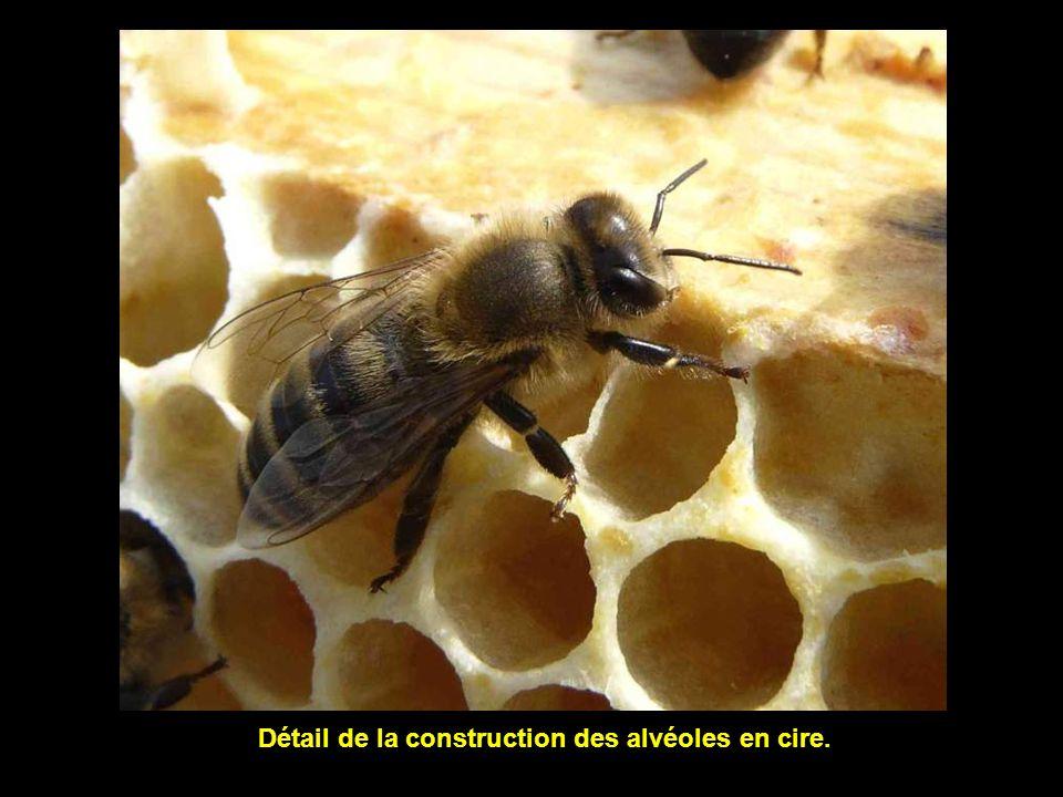 Lactivité de la ruche ne faiblit pas, même après son ouverture de la ruche.