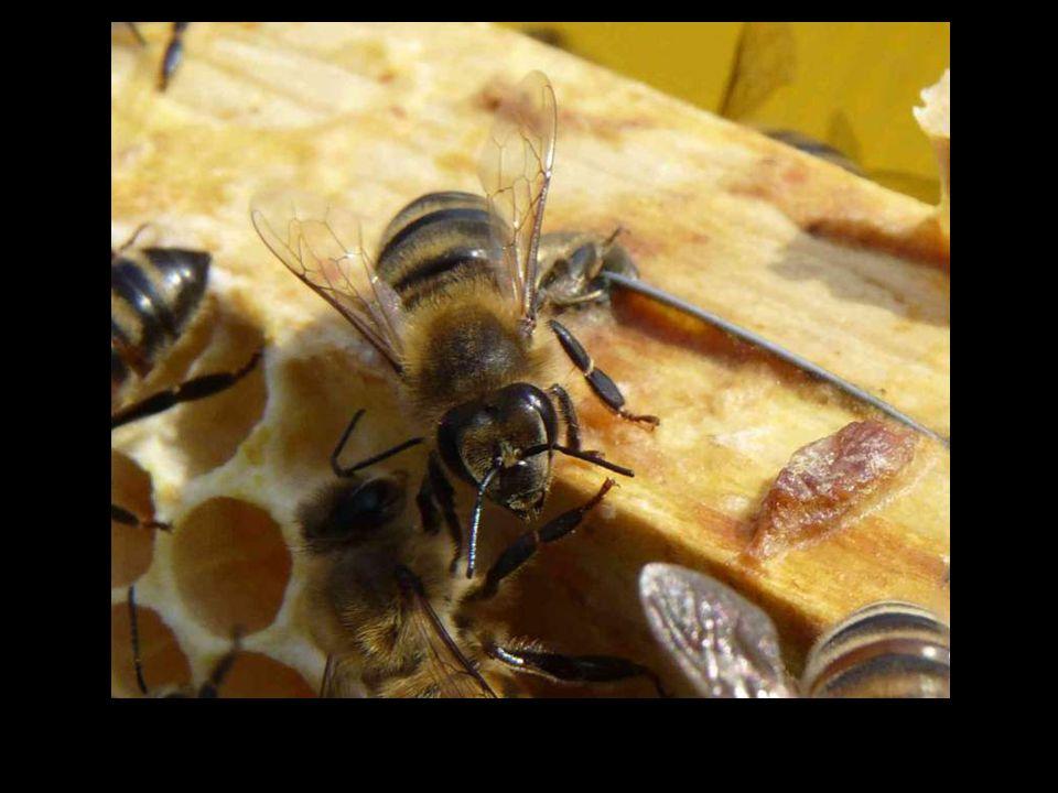 80% des plantes ont absolument besoin des abeilles pour être fécondées.