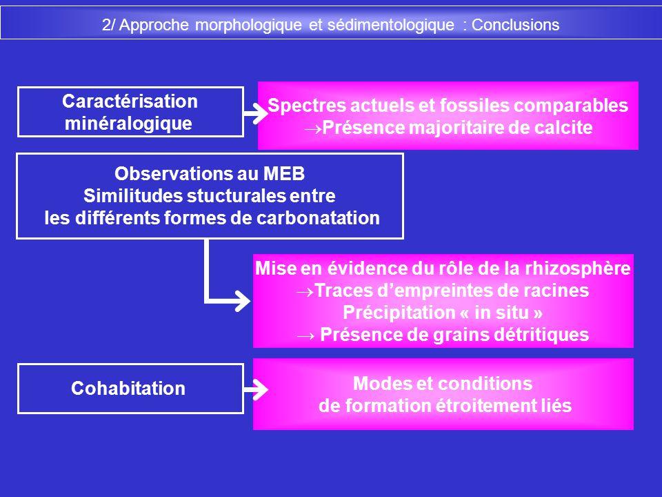 2/ Approche morphologique et sédimentologique : Conclusions Mise en évidence du rôle de la rhizosphère Traces dempreintes de racines Précipitation « i