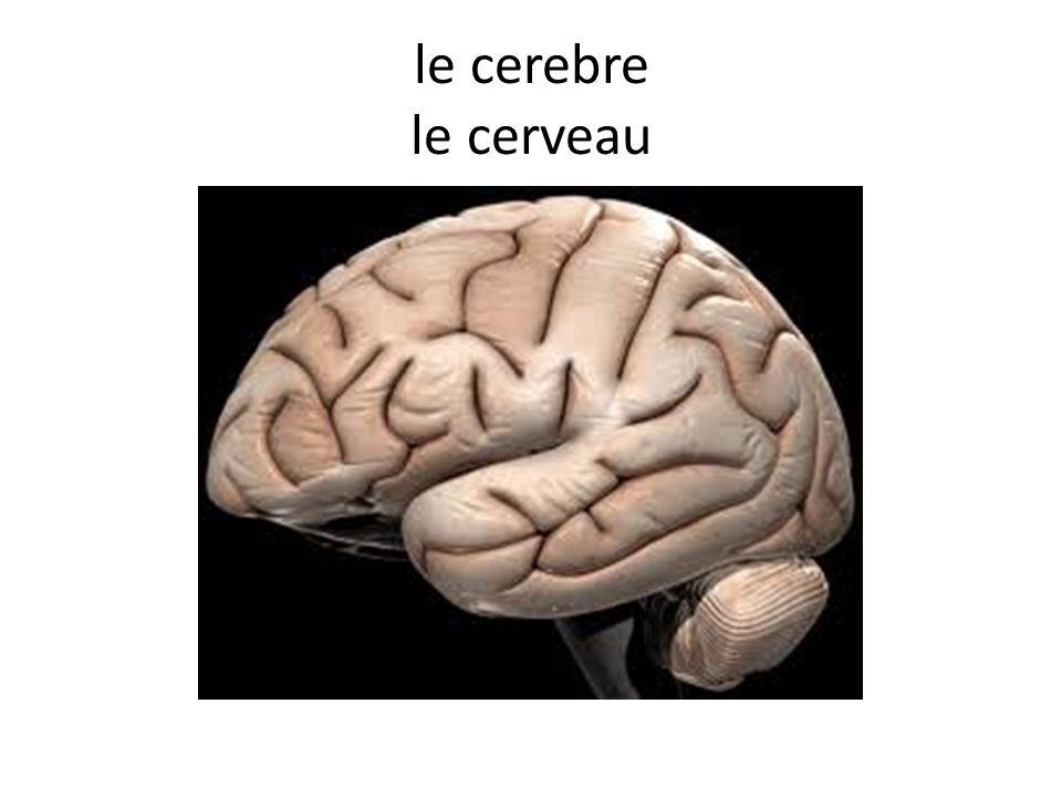 le cerebre le cerveau