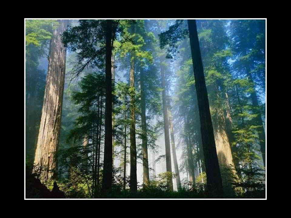 Les trois arbres prièrent pendant plusieurs années pour que leurs rêves se réalisent. Et un jour, survinrent trois bûcherons. L'un d'eux s'approcha du