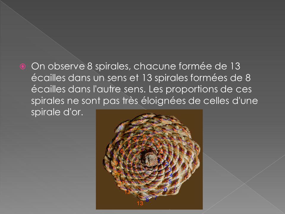 On observe 8 spirales, chacune formée de 13 écailles dans un sens et 13 spirales formées de 8 écailles dans l autre sens.