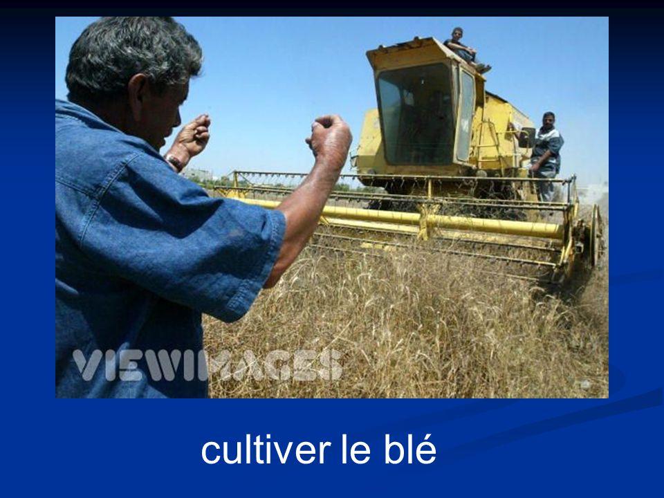 cultiver le blé