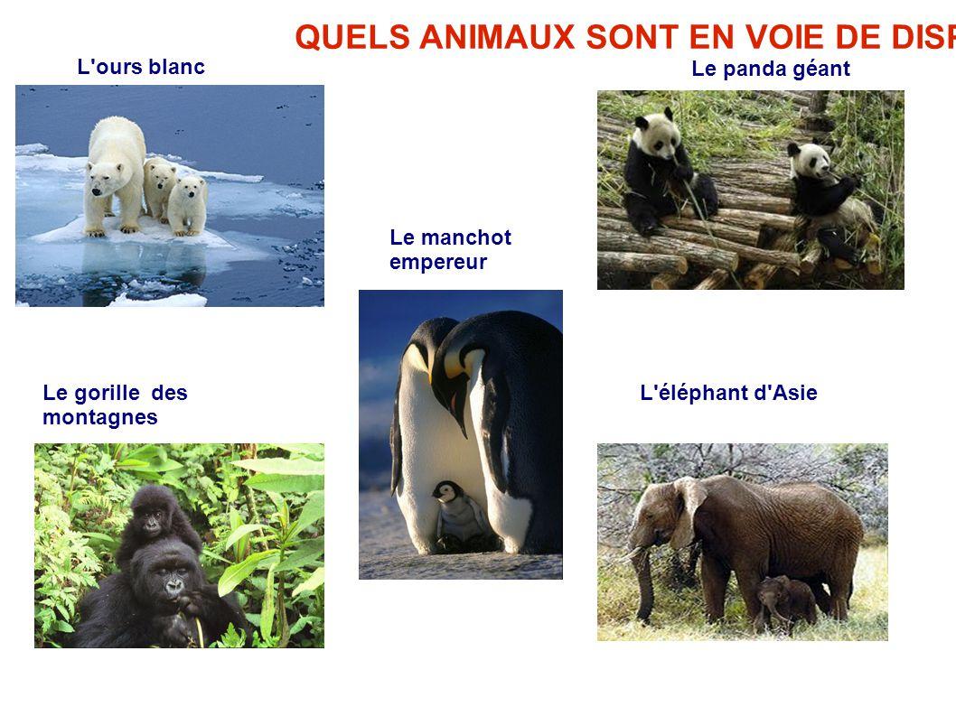 QUELS ANIMAUX SONT EN VOIE DE DISPARITION? Le gorille des montagnes L'ours blanc Le panda géant L'éléphant d'Asie Le manchot empereur