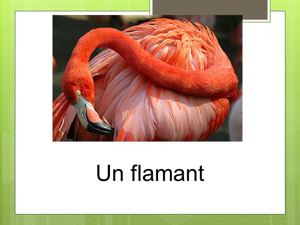 Un flamant