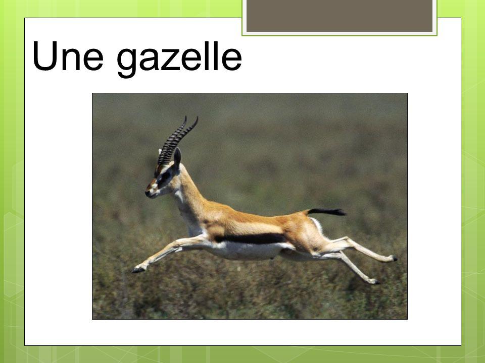 Une gazelle