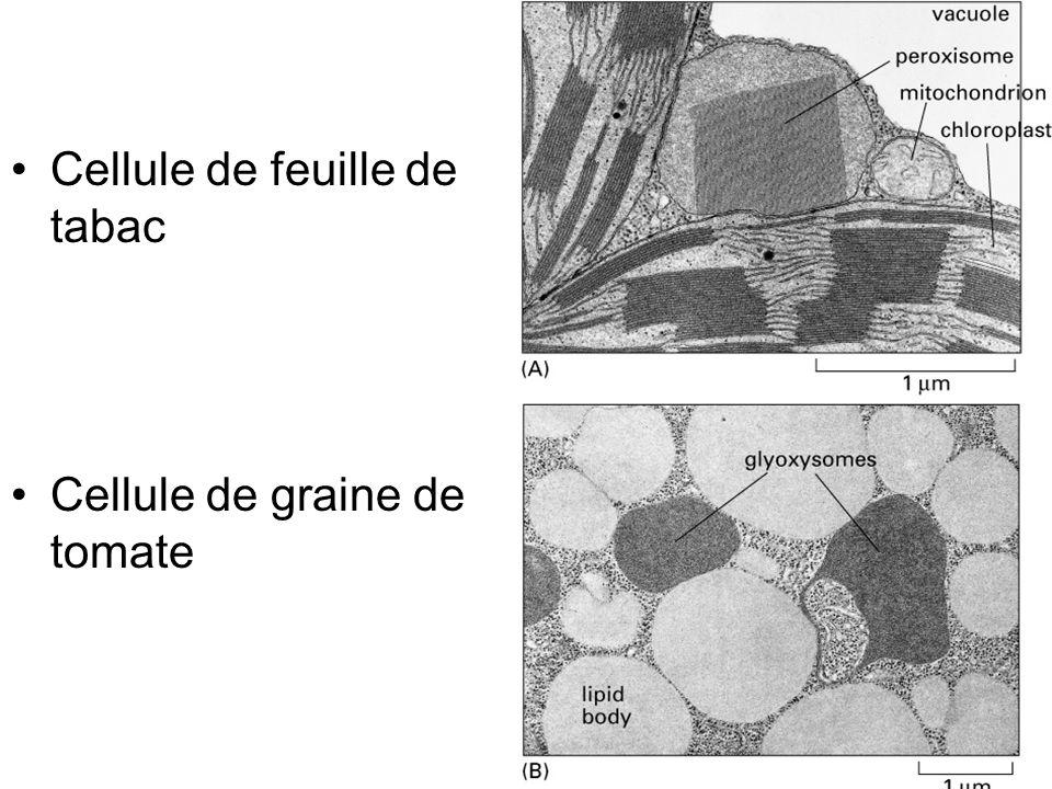 18 Fig 12-33 Cellule de feuille de tabac Cellule de graine de tomate