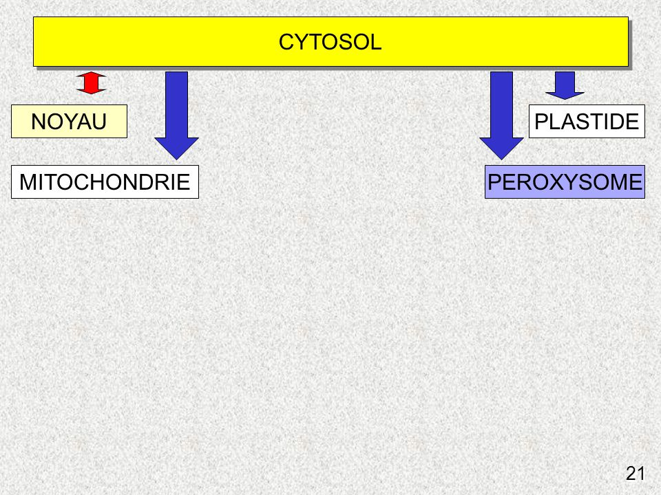 21 Schéma du routage vers peroxysomes CYTOSOL NOYAUPLASTIDE MITOCHONDRIEPEROXYSOME